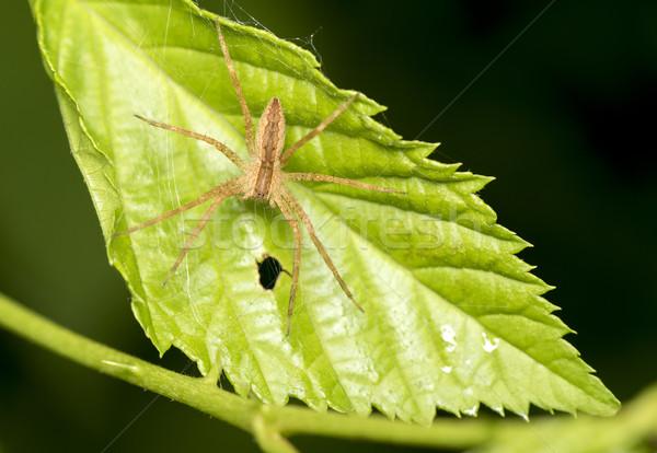 örümcek fotoğraf yaprak arka plan yeşil Stok fotoğraf © pazham