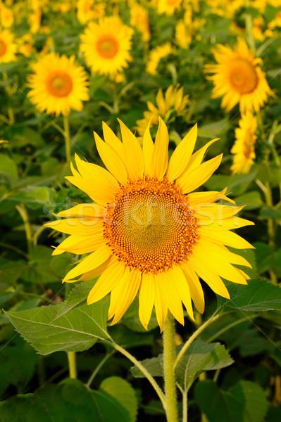 ヒマワリ 太陽 美しい フィールド 花 夏 ストックフォト © pazham