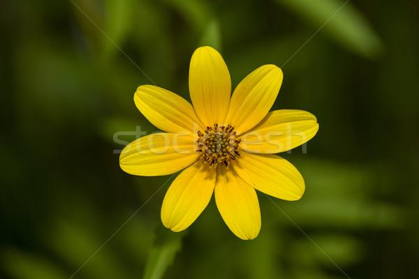 Barbu plein fleurir fleur printemps tournesol Photo stock © pazham