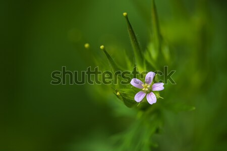 Wild Geranium Stock photo © pazham