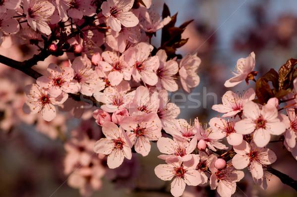 çiçekler varış bahar sezon çiçek doğa Stok fotoğraf © pazham