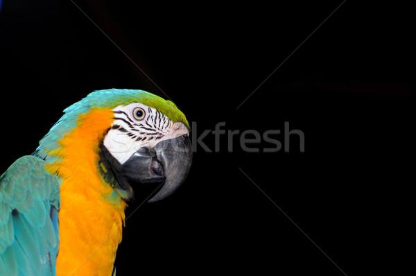 Macaw Stock photo © pazham