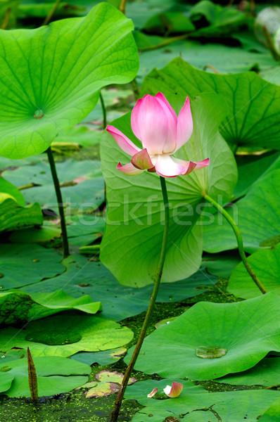 Lotus свежие молодые бутон местный пруд Сток-фото © pazham