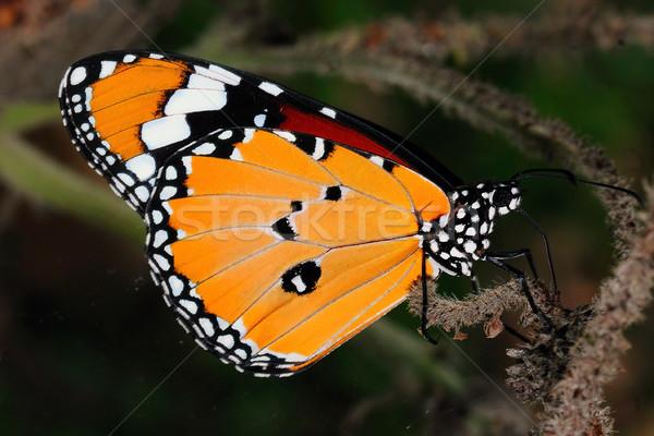 Monarch Stock photo © pazham