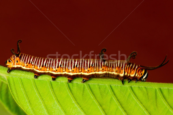 Catepillar Stock photo © pazham