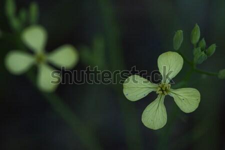 Winter Cress (Barbarea verna) Stock photo © pazham