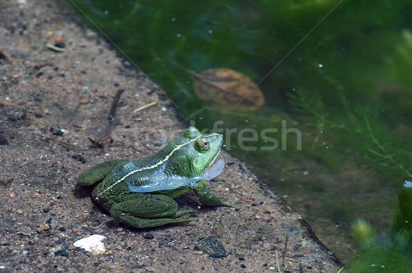 Stock fotó: Zöld · béka · közelkép · lövés · helyi · tavacska