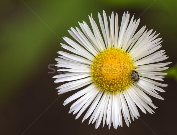 Bogár fehér százszorszép virág kert háttér Stock fotó © pazham