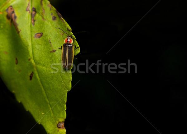 Szentjánosbogár tűz légy pihen zöld levél természet Stock fotó © pazham