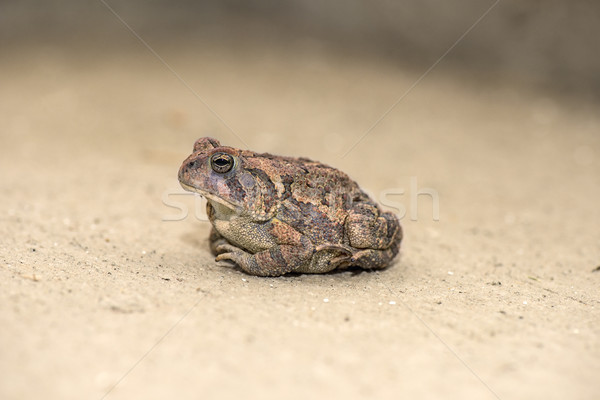 Toad Stock photo © pazham