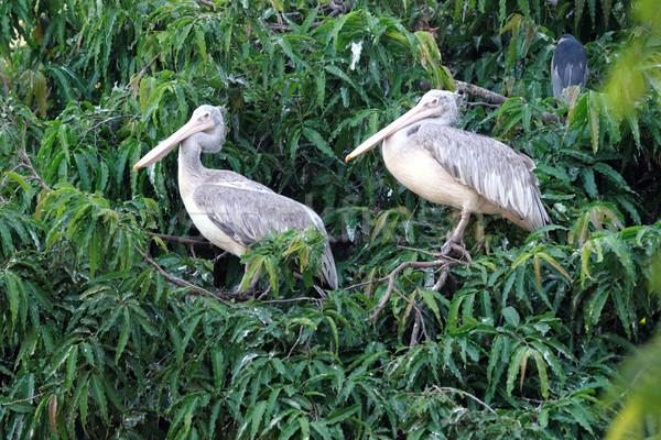 Pelicans Stock photo © pazham