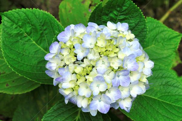美しい 青 咲く 自然 花 白 ストックフォト © pazham