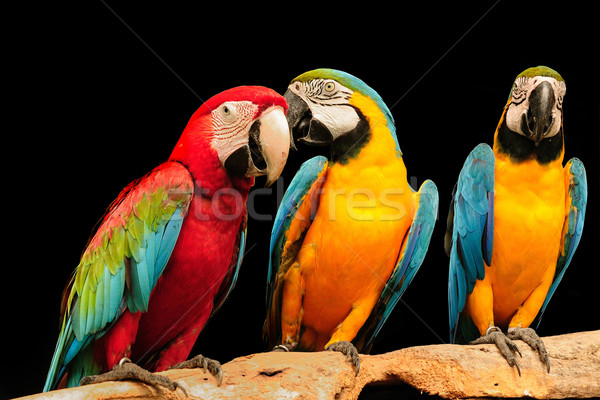 Macaws Stock photo © pazham