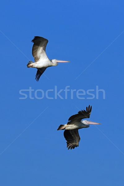 飛行 早朝 ビーチ 空 自然 鳥 ストックフォト © pazham