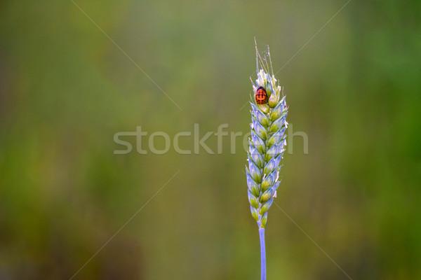 Coccinelle joli dame bug haut bourgeon Photo stock © pazham