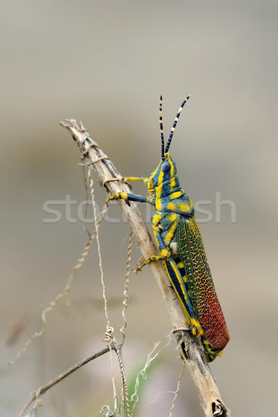 Painted Grasshopper Stock photo © pazham