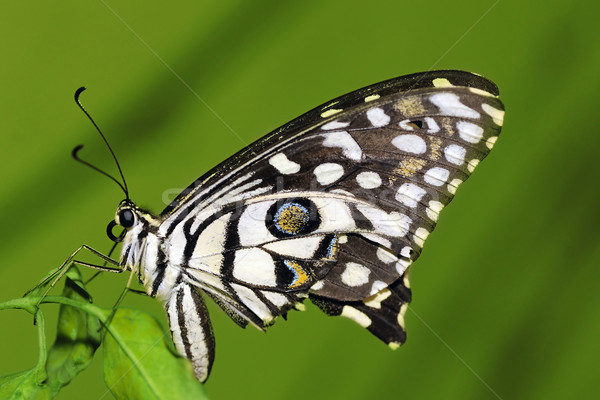 Lime Butterfly Stock photo © pazham