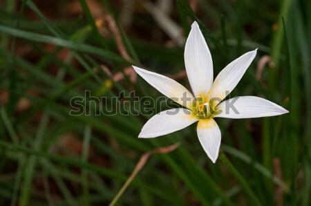 дождь Лилия белый цветок Солнечный весны Сток-фото © pazham