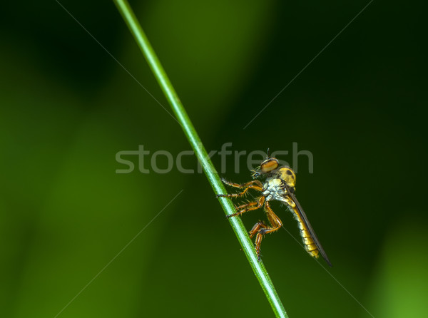 強盗 フライ 目 フォーカス 背景 緑 ストックフォト © pazham