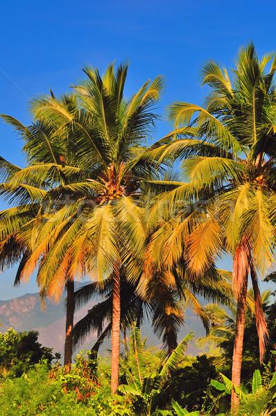 Pálmafa magas pálmafák fényes napos idő természet Stock fotó © pazham