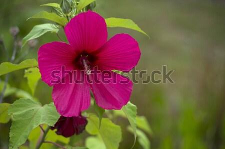 Hibiszkusz virág copy space természet terv kert Stock fotó © pazham