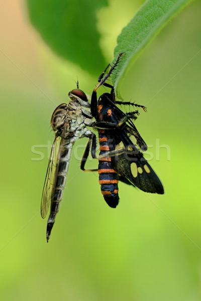 強盗 フライ 食べ 昆虫 朝食 自然 ストックフォト © pazham
