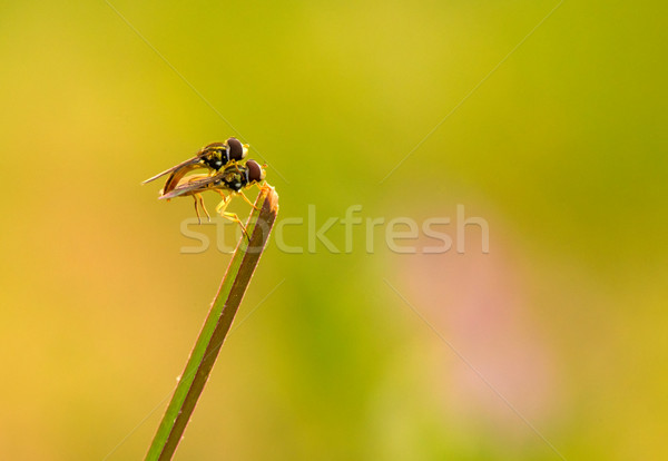 Robberfly Stock photo © pazham