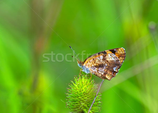 Silvery Checkerspot (Chlosyne nycteis) Stock photo © pazham