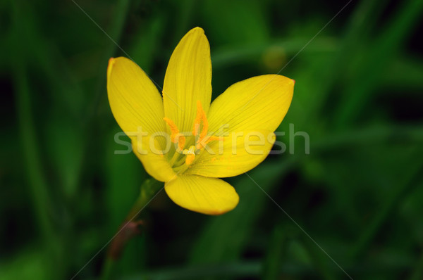 Pluie Lily belle jaune vert printemps Photo stock © pazham