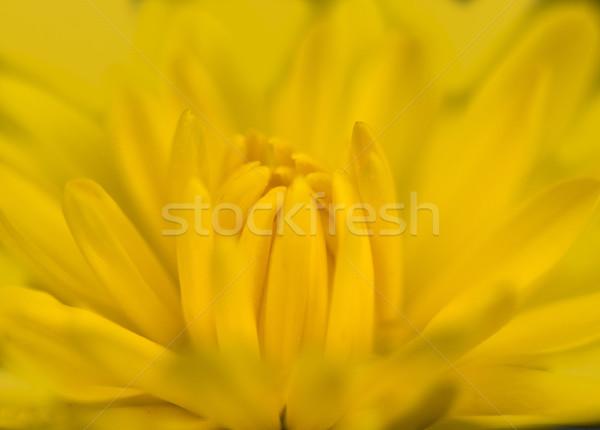 Photo jaune maman fleur fleurs Photo stock © pazham