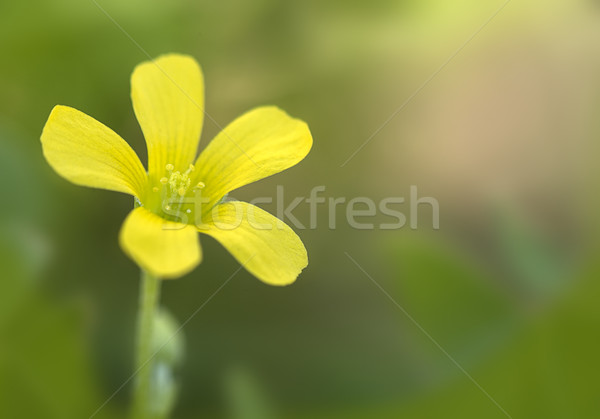 Common Yellow Wood-sorrel (Oxalis stricta) Stock photo © pazham