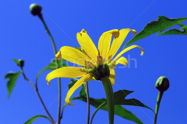 Jaune fleur nature paysage jardin fond Photo stock © pazham