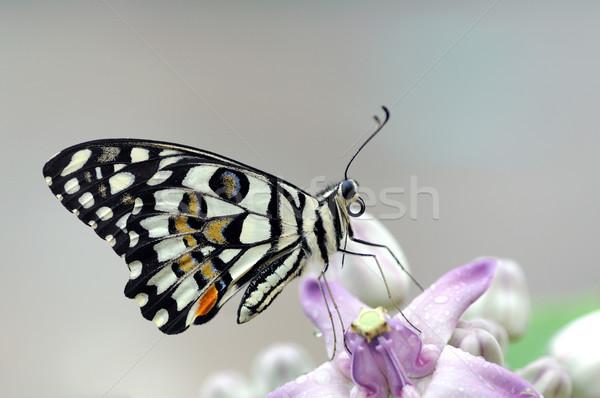 Chaux papillon fleur jaune tôt le matin oeil nature Photo stock © pazham