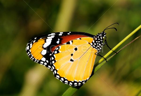 Tigris pillangó természet park Ázsia gyönyörű Stock fotó © pazham