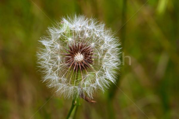 タンポポ 緑の草 草 クロック 背景 ストックフォト © pazham