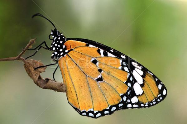 тигр красивой бабочка свет образование Сток-фото © pazham