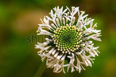 白 フル 花 背景 ストックフォト © pazham