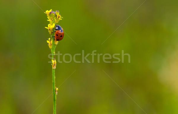 Joaninha topo erva daninha natureza jardim verão Foto stock © pazham