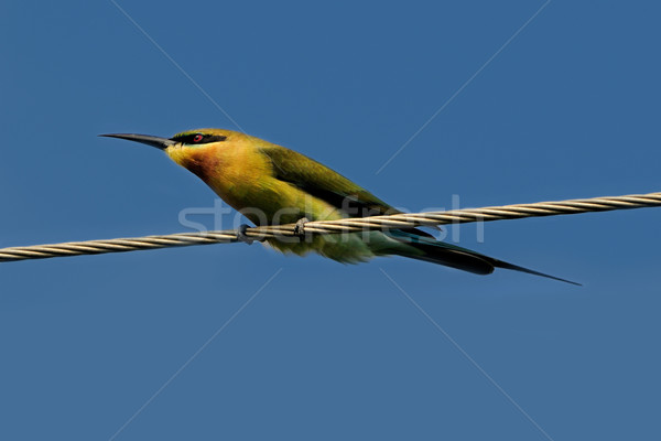 Blue Tail Bee Eater Stock photo © pazham