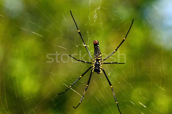 Giant Wood Spider Stock photo © pazham
