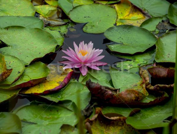 Rózsaszín liliom gyönyörű víz növény tükröződés Stock fotó © pazham