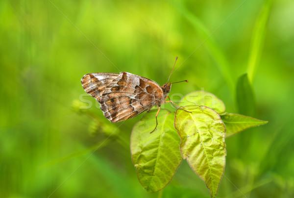 Variegated Fritillary (Euptoieta claudia) Stock photo © pazham