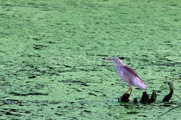 Gölet balıkçıl arama yüz doğa deniz Stok fotoğraf © pazham
