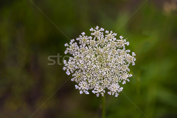 Wild Carrot (Daucus carota) Stock photo © pazham