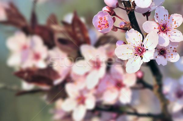 Arrivée printemps fleurs fond vert Photo stock © pazham