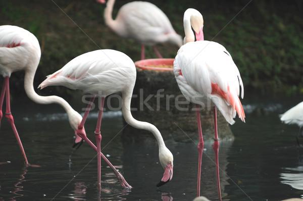 Groupe rose locale zoo eau herbe Photo stock © pazham