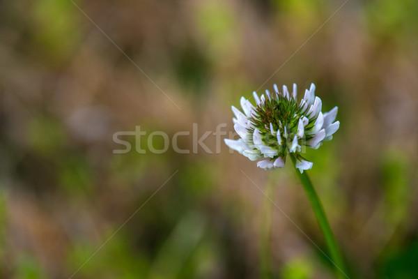 白 クローバー 写真 花 花 ストックフォト © pazham