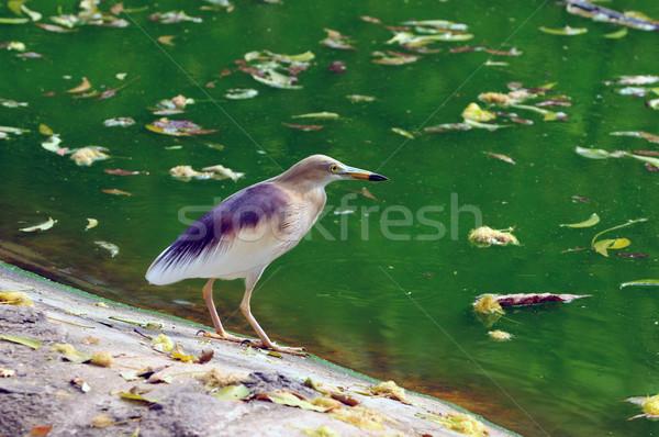 Hint gölet balıkçıl genç hazır Stok fotoğraf © pazham