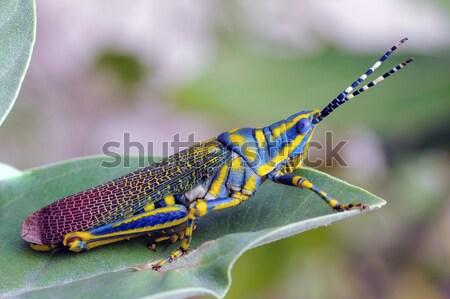 Malowany konik polny piękna ściany charakter nogi Zdjęcia stock © pazham