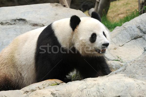Panda cute locale zoo Hong-Kong dents Photo stock © pazham